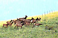 Elk jumping the fence, Valles Caldera, NM.jpg
