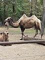 Em - Camelus bactrianus - 10.jpg