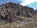 Empilement de souches de pins après désouchage d'une coupe rase 2018 Landes de Gascogne 07.jpg