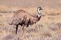 Emu (Dromaius novaehollandiae) (8079571419).jpg