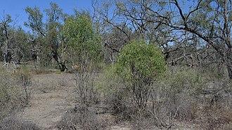 Kultarr - Semi-arid woodlands