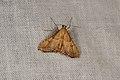 Endotricha flammealis (35571144340).jpg