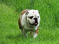 Englische Bulldogge - panoramio.jpg