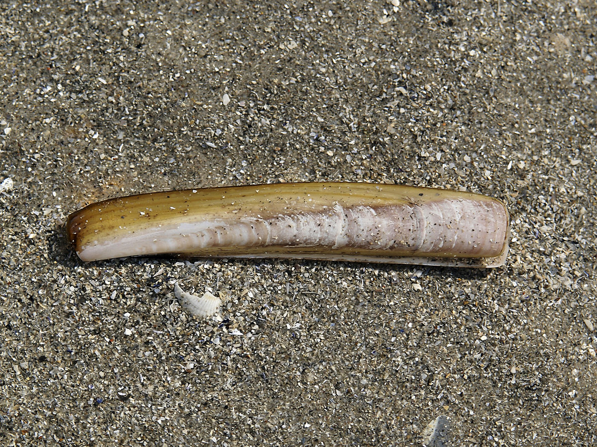 Atlantic jackknife clam - Wikipedia
