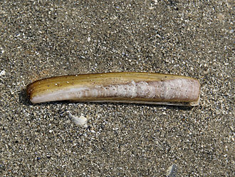 Atlantic jackknife clam - Empty shell of Ensis leei