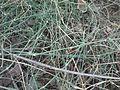 Ephedra ciliata-3-jodhpur-India.JPG