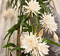 Epiphyllum Oxypetalum (Queen of the night) JPN2.jpg