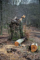 Epping Forest High Beach Essex England - Cut logs and tree stump.jpg