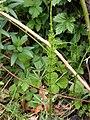 Equisetum fluviatile 126932687.jpg