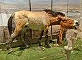 Equus ferus Rekonstruktion, Museum Neanderthal.jpg