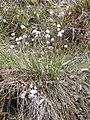 Eriophorum vaginatum kz04.jpg