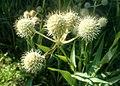Eryngium yuccifolium kz4.jpg