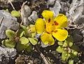 Erythranthe norrisii (Kaweah monkeyflower) (33652983901).jpg