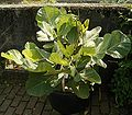 Erythrina humeana 01 ies.jpg
