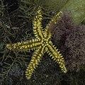 Estrella espinosa común (Marthasterias glacialis), Parque natural de la Arrábida, Portugal, 2020-07-23, DD 37.jpg