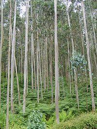 Eucalyptus plantation in Galicia in Northwest ...