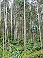 Eucalipto Galicia.JPG