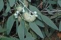 Eucalyptus morrisbyi.jpg