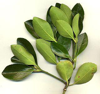 <i>Euonymus japonicus</i> species of plant