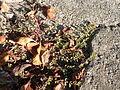Euphorbia chamaesyce 1.jpg
