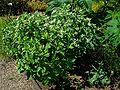 Euphorbia marginata 001.JPG