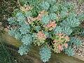 Euphorbia myrsinites reddish form (14250938260).jpg