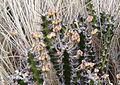 Euphorbia sp. Erati 3 (10753201945).jpg