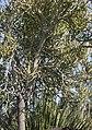 Euphorbia tirucalli - Rubber-hedge euphorbia, 2020-02-01.jpg