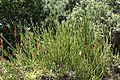 Euphorbia weberbaueri, hábito general.jpg