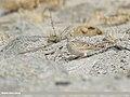 Eurasian Skylark (Alauda arvensis) (48088930673).jpg