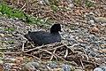 Eurasian coot (Fulica atra) on nest.jpg