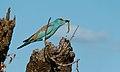 European Roller (Coracias garrulus) (6021970970).jpg