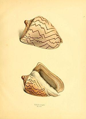 Sylvanus Charles Thorp Hanley - Exotic conchology 1841