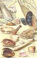 FMIB 53685 Mollusques- Mollusques Lamellibranches.jpeg