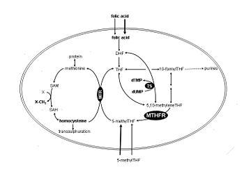 English: Simplified Folate Pathway