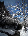 Fallen tree - Blizzard of 2010.JPG