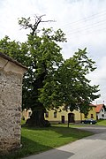 Famous tree in Nebahovy in 2011 (1).JPG