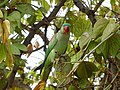 Female Alexandrine Parakeet Eating Kachnar Tree Fruits 01.jpg