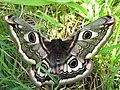 Female Emperor Moth - geograph.org.uk - 790824.jpg