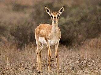 Goitered gazelle - Female goitered gazelle at the Shirvan National Park, Azerbaijan