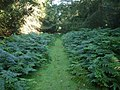 Fern edged path - geograph.org.uk - 1412880.jpg