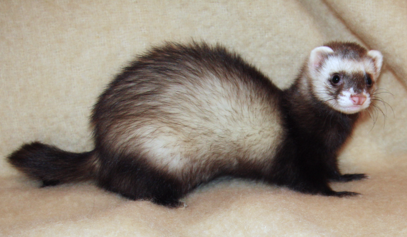 800px-Ferret_2008.png