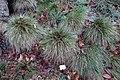 Festuca durissima - Botanischer Garten, Dresden, Germany - DSC08674.JPG