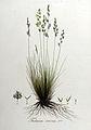 Festuca ovina — Flora Batava — Volume v8.jpg