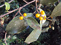 Ficus Microcarpa 01.JPG