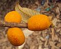 Ficus drupacea 06.JPG