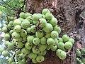 Ficus racemosa fruits at Makutta (1).jpg