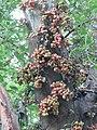 Ficus racemosa fruits at Peravoor (9).jpg