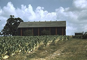 Burley (tobacco) - Field of burley tobacco, drying and curing barn in the background, farm of Russell Spears, Lexington, Kentucky, 1940