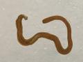 Figure 14 (PeerJ 4672) - Diversibipalium multilineatum+ asterisk.png